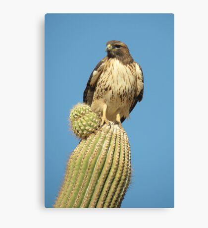 Red-tailed Hawk ~ Saguaro Sitting Canvas Print