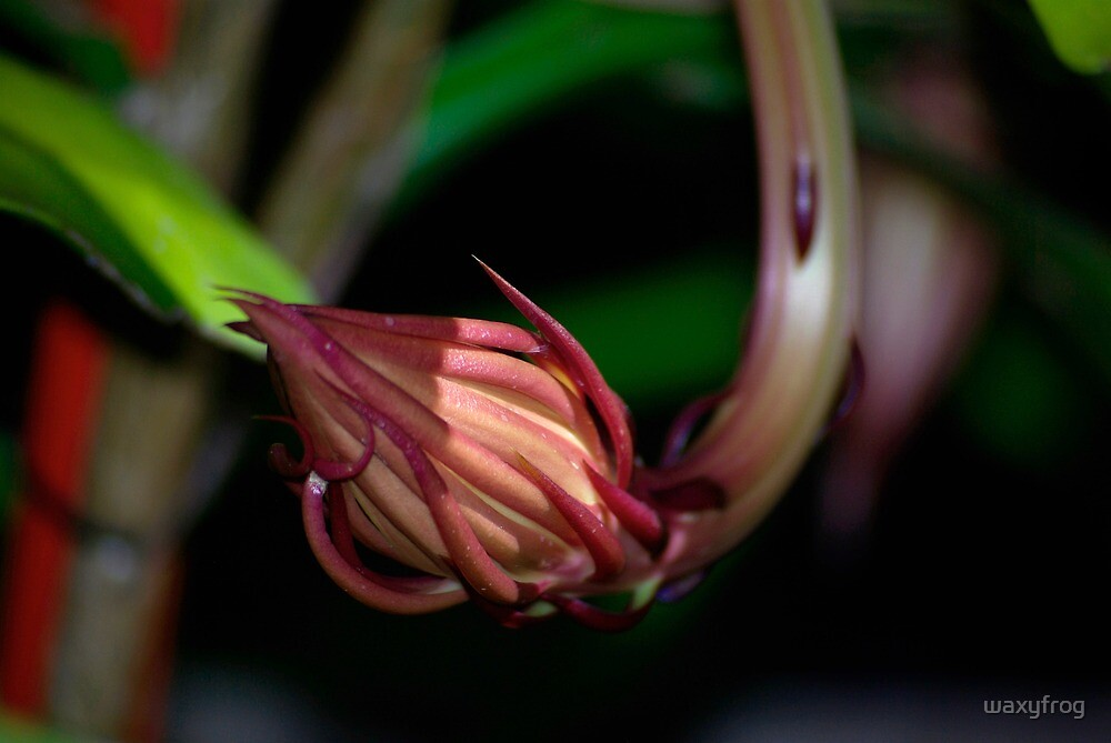 Queen of the night bud. by waxyfrog