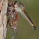 Robberfly With Prey by Andrew Trevor-Jones