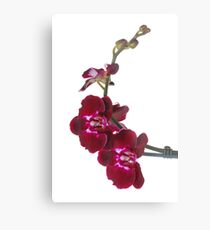 Purple Phaleanopsis Orchid on white background Metal Print