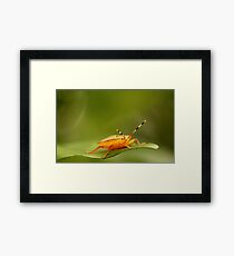 Orange Stink Bug Framed Print