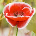 Poppy Bright by DIANE  FIFIELD
