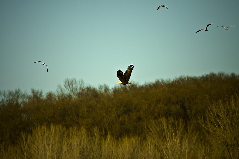 Bald Eagle flying by craigbregar