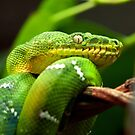 Emerald Tree Boa by John Sharp