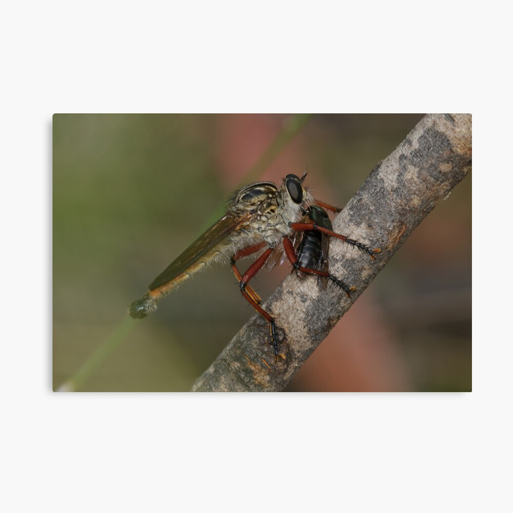 Robberfly With Prey Canvas Print