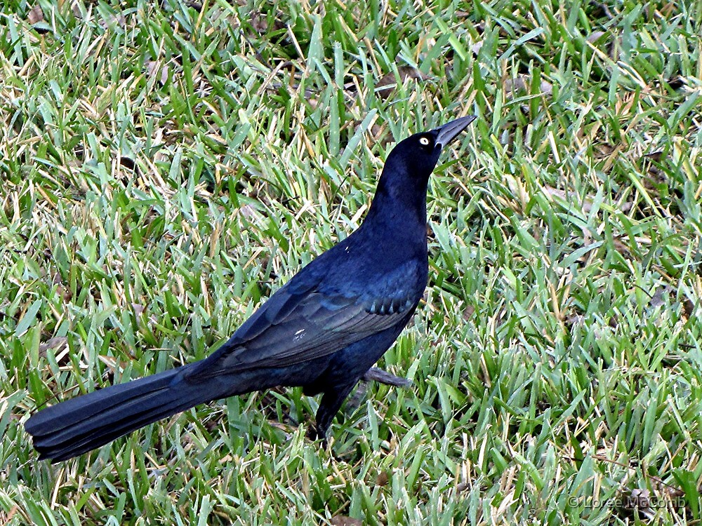 Grackle by © Loree McComb