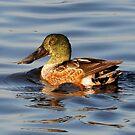 Male Northern Shoveler Duck by Kathy Baccari