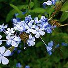 Abundant in blue Plumbago by kirkgunn