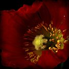 The first tiny red poppy by EbyArts