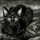 ''Black Beauty'' by Birgitta   †