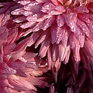 Drops on pink flower by amar singh