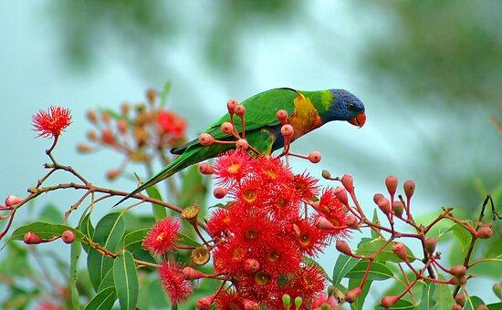 Rainbow Lorikeet with Flowering Gum by Jan Lawnikanis