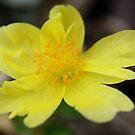 Yellow Portulaca by cathywillett