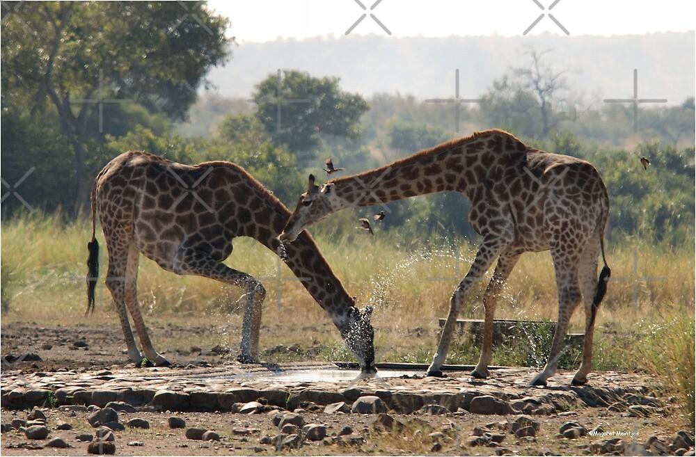 A LONG WAY TO GO FOR A THIRSTY GIRAFFE  ! - GIRAFFE – Giraffa camelopardalis by Magriet Meintjes