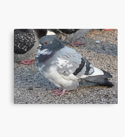 White and Black Pigeon with Grey Area 3696 Canvas Print