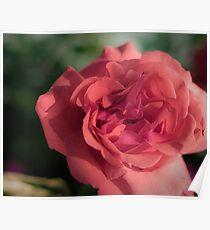 Rose #41 Poster