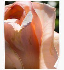Peach Rose #71 Poster