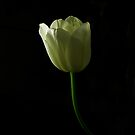 tulip by Gasparedes