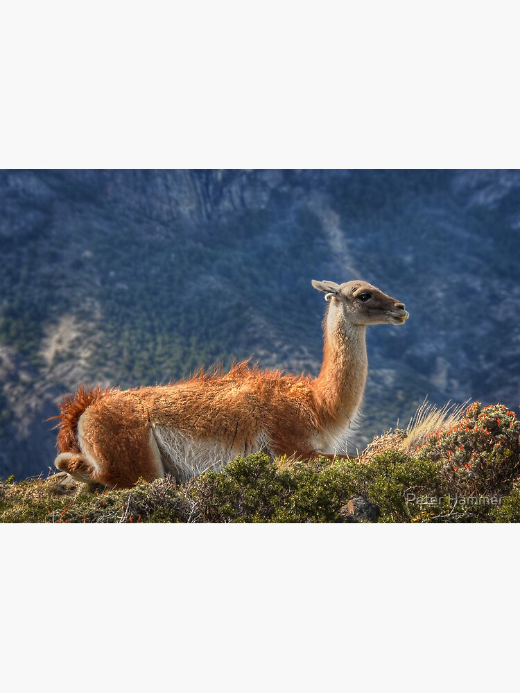 Guanaco by PeterH