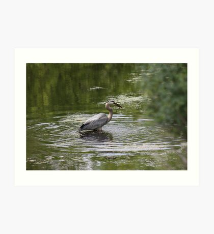Great Blue Heron with Creek Chub Art Print