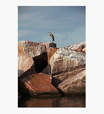 Great Blue Heron on Red Rock Photographic Print