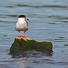 Tern on Rock by Thomas Murphy