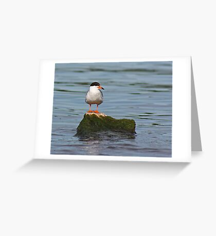Tern on Rock Greeting Card