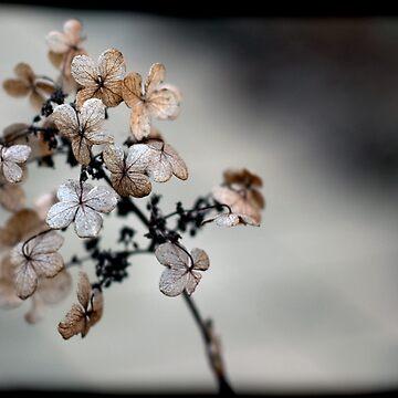 Hydrangea by SamWarner