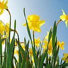 Towering daffodils  by aaronnaps