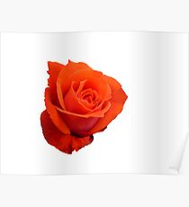 Rose on white Poster