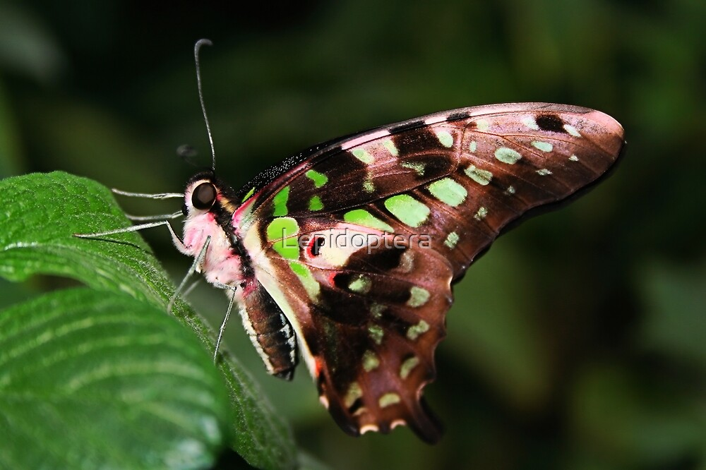 Underside of a Tailed Jay - Graphium agamemnon by Lepidoptera