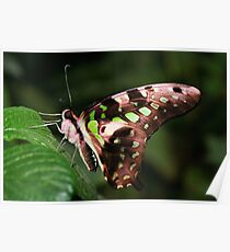 Underside of a Tailed Jay - Graphium agamemnon Poster
