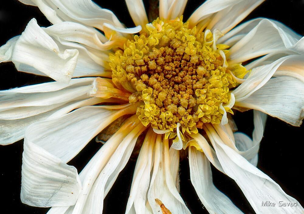 Flower - Daisy - Drunken sun by Michael Savad