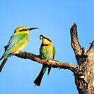 Rainbow bee-eaters and hapless bee by nadine henley