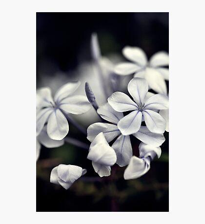 Plumbago Photographic Print