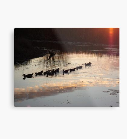 FOLLOW THE LEADER - MUSCOVY DUCKS AT SUNSET Metal Print