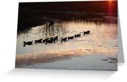 FOLLOW THE LEADER - MUSCOVY DUCKS AT SUNSET by May Lattanzio