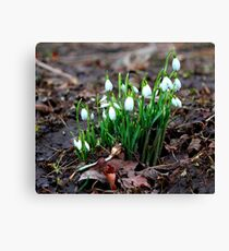 First Snowdrops ( Galanthus nivalis)   of 2012 8th January. Canvas Print