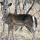 Doe, A Deer, A Female Deer... by Tom Deters