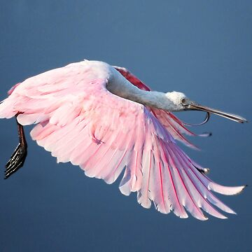 Roseate Spoonbill In Flight At Water's Surface by KBaccari