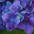hydrangea and frost by ANNABEL   S. ALENTON