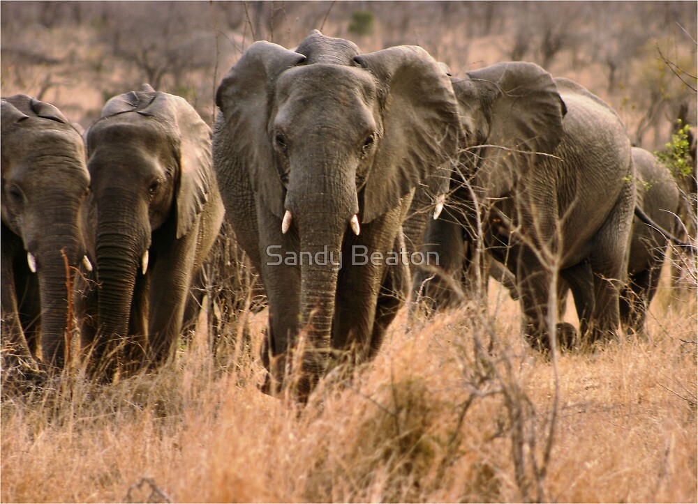 """""""For the love of elephants"""" - African elephant (Loxodonta africana) by Sandy Beaton"""