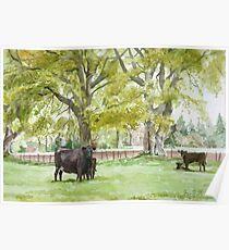 Aberdeen Angus Cattle Poster
