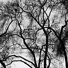 Black and White Silhouetted Trees  by Bo Insogna