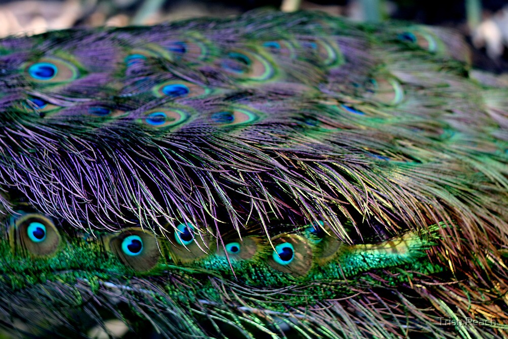 I wanna see your peacock by Trish Peach