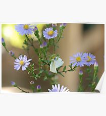 New Zealand praying mantis eating white butterfly Poster