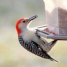 Red-Bellied Woodpecker by Renee Blake