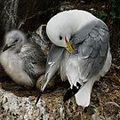 Kittiwake with Chick and Egg by Brian Tarr