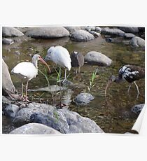 Heron And Ibis - Garza Blanca E Ibis Poster