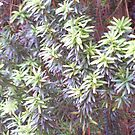 Yew shoots by JuliaJay